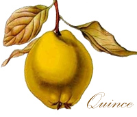 Quince from ''Koehler's Medicinal-Plants'' 1887